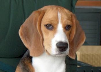 Volwassen Beagle