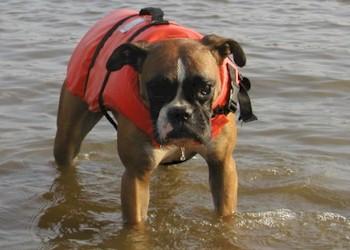 Boxer in het water