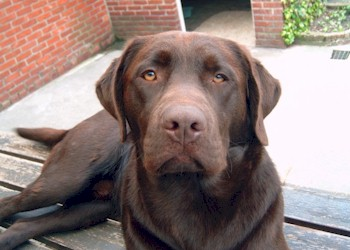 labrador retriever chocolade